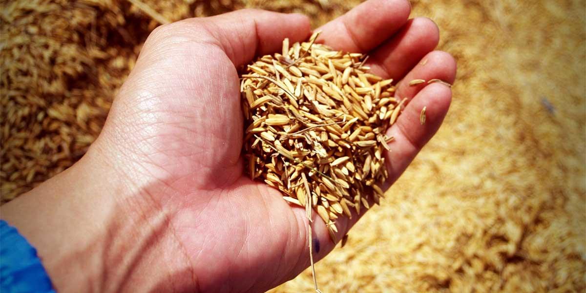 bioedilizia scarti del riso